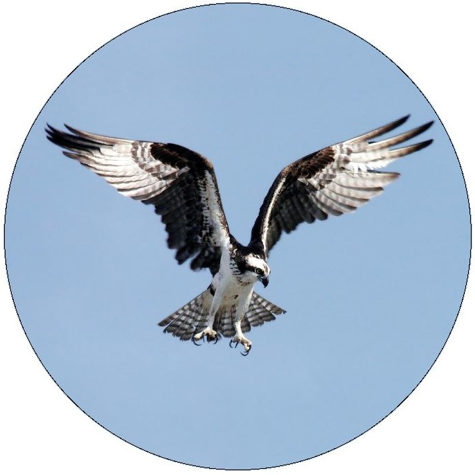 Osprey Pinback Buttons and Stickers