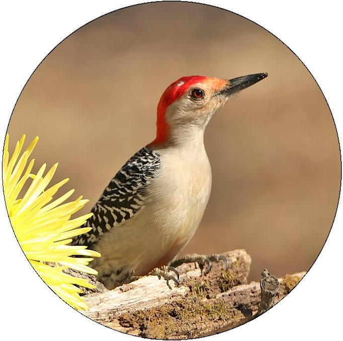 Woodpecker Pinback Buttons and Stickers