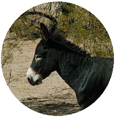 Wild Burros Pinback Buttons and Stickers