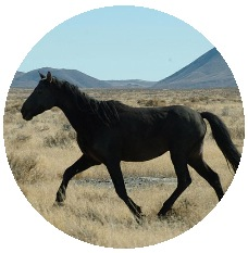 Wild Horses on Black Rock Desert Pinback Buttons and Stickers