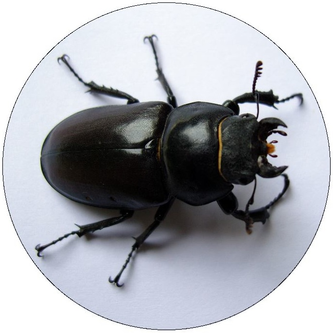 Stag Beetle Pinback Buttons and Stickers