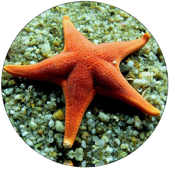 Starfish Pinback Button and Stickers