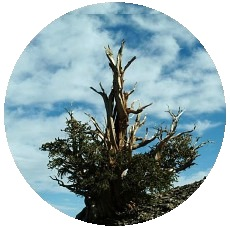 Bristlecone Pine Trees Pinback Buttons and Stickers