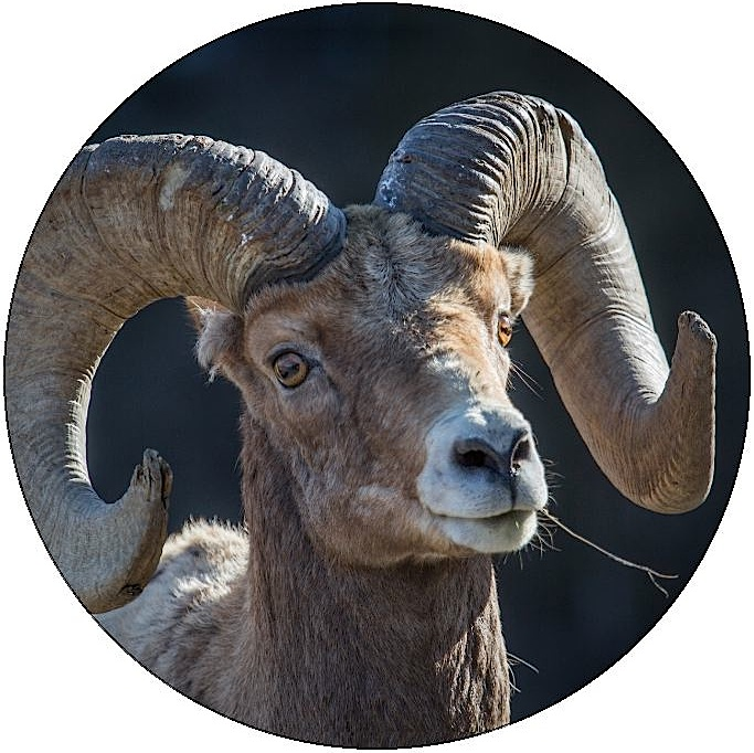 Bighorn Sheep Pinback Buttons and Stickers