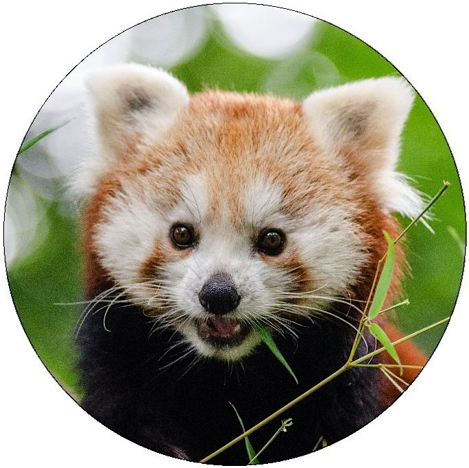 Red Panda Pinback Buttons and Stickers